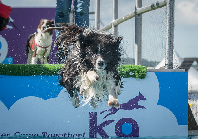 Dogs can splash out at the diving pool at DogFest