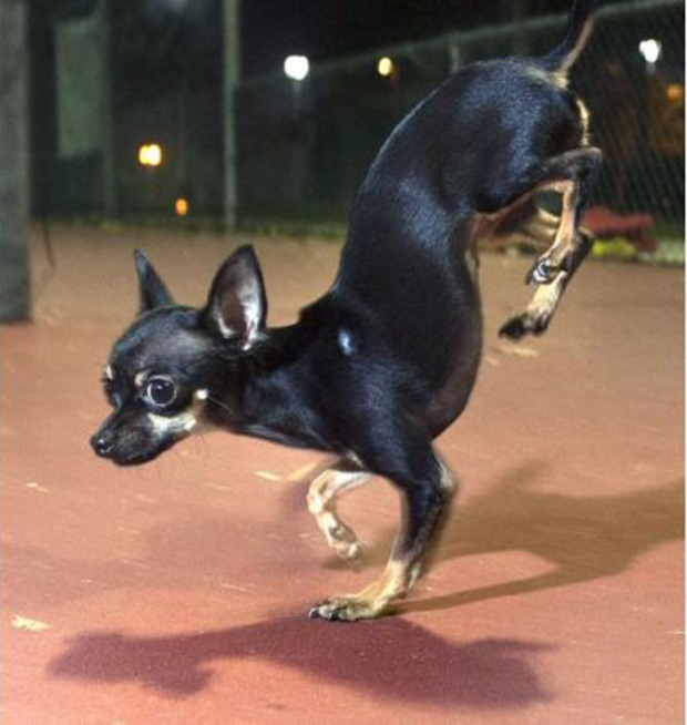 Fastest-5-metres-on-front-paws-by-a-dog_Konjo_guinness_world_records_closeup