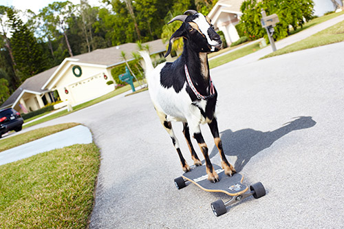 Happie---Farthest-Distance-Skateboarding-By-A-Goat_-2739.jpg