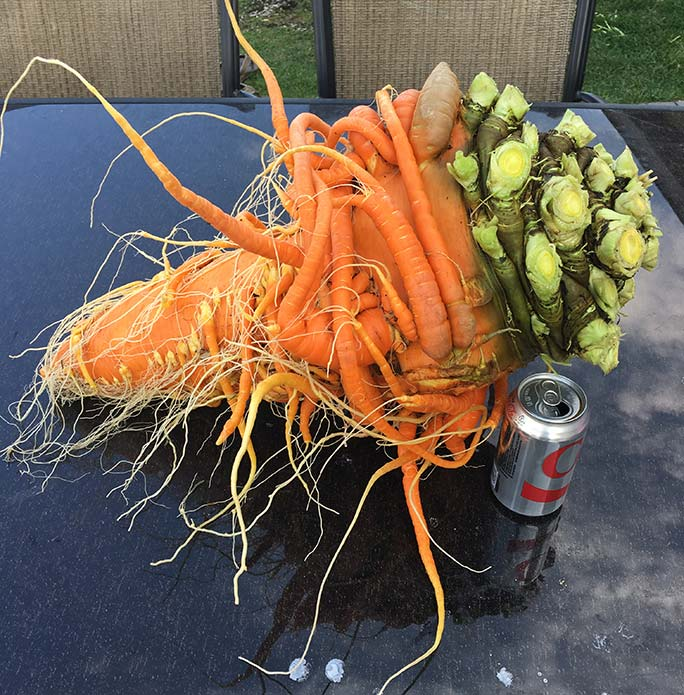 Heaviest carrot next to a can