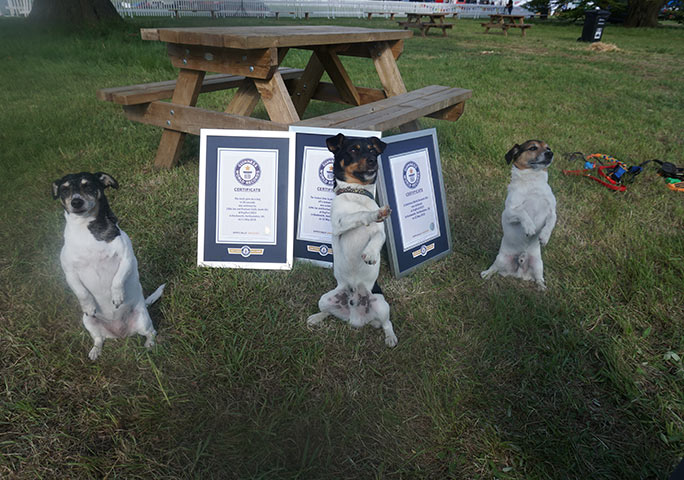 Three of Rachael's Jack Russell terriers have now set records, from left to right: Jessica, Little Joe and Jacob