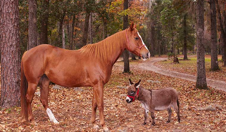 KneeHi, the world's shortest donkey, with a regular-sized horse