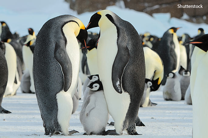 Emperor penguins endure some of the harshest conditions on Earth in the frozen wastes of Antarctica