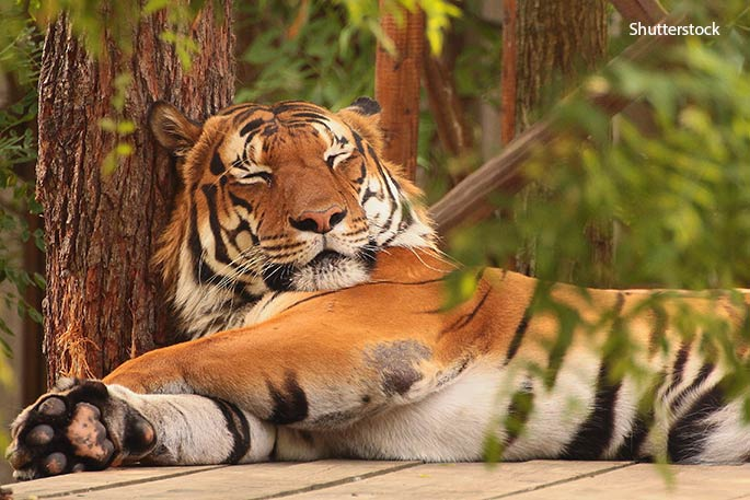 Big cats like to catch 40 winks as much as domestic felines. The largest wild cat of them all, the Siberian tiger, can spend as much as 16 hr a day cat-napping