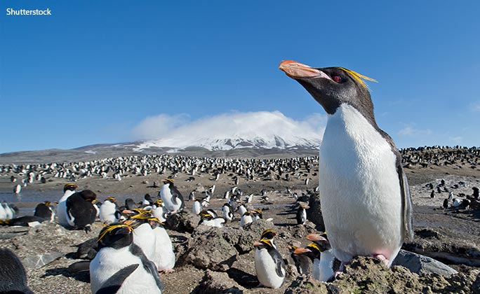 A close relation of rockhoppers, macaroni penguins are the most abundant penguin