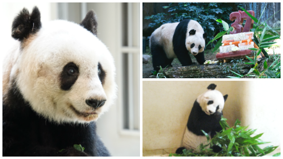 Farewell Jia Jia - the oldest panda ever in captivity