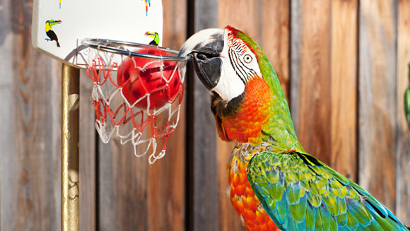 Zac - holder of the record for most basektballs slam-dunked by a parrot in a minute - video