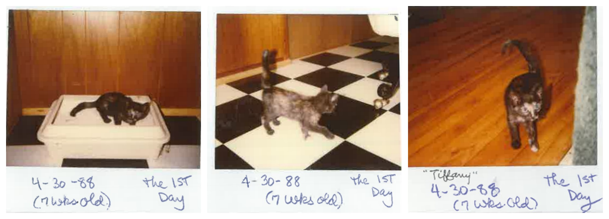 Oldest cat Tiffany Two polaroids 2