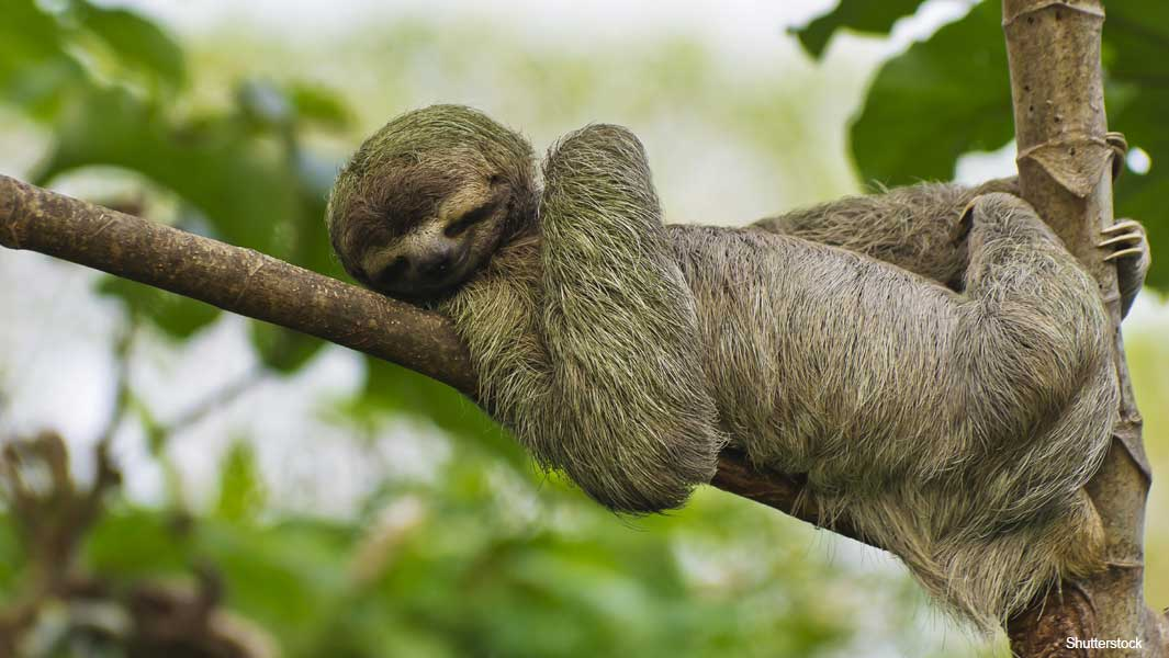 Life in the slow lane: three amazing sloth records