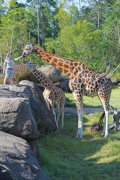 Forest and his herd-mate Kebibi enjoy a snack from Australia Zoo keeper Kat Hansen