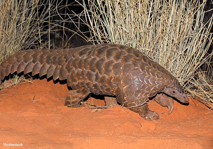African species such as the Temminck's pangolin are increasingly being exported to fuel demand in Asia