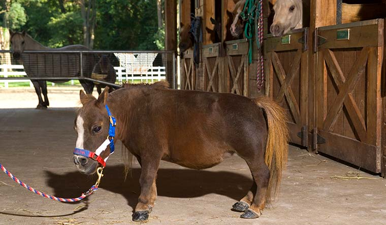 Thumbelina measured 44.5 cm (17.5 in) to the withers to become the shortest female horse living in 2006