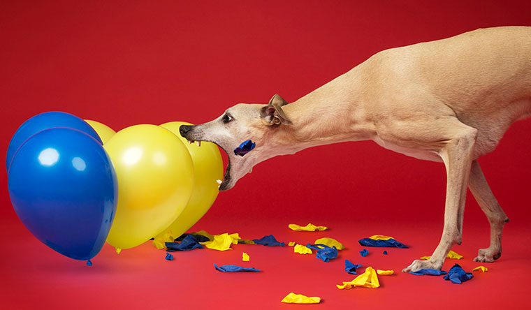 Toby the whippet dog bursting balloons - he burst 100 in 28.22 seconds