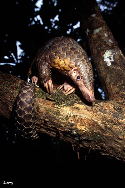 Africa's black-bellied pangolin is the smallest member of the family