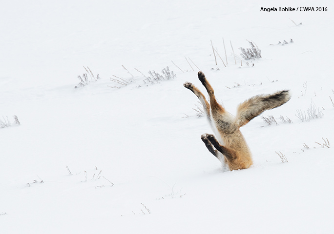 "In 2016, the top prize went to ""A Tough Day at the Office"" – a snap of a face-planting fox snapped in Yellowstone National Park, USA, by Angela Bohlke"