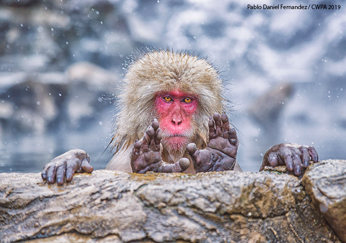 cwpa-japanese-macaque