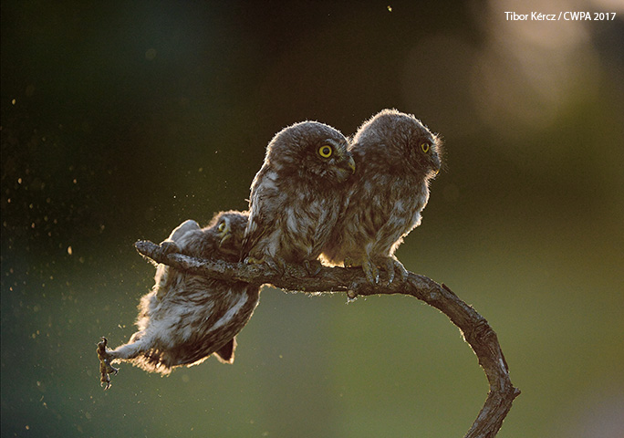 The 2017 CWPA was won by a series of shots of a family of little owls taken by Tibor Kércz from Hungary