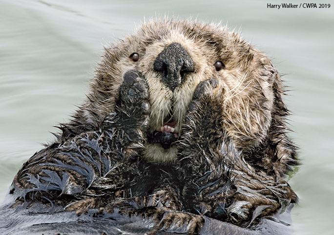Harry Walker's shot of an astounded sea otter claimed the Affinity Photo People's Choice Award