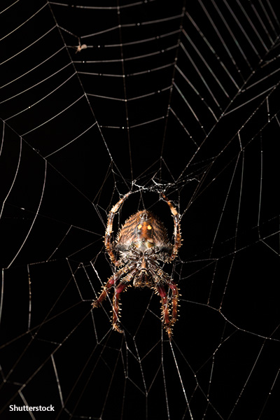 The super-strong silk of the Darwin's bark spider also enables it to build the longest spider webs – up to 25 m (82 ft)!