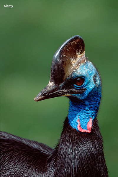 Why the cassowary is the world's most dangerous bird | Guinness