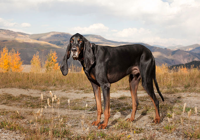 Harbor the coonhound hailed from Colorado, USA
