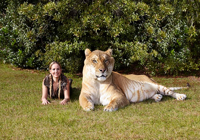 Hercules lives at Myrtle Beach Safari wildlife reserve in South Carolina, USA
