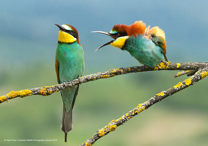 Vlado Pirsa's shot of arguing bee-eaters having a barney won the Spectrum Photo Creatures in the Air Award 2019