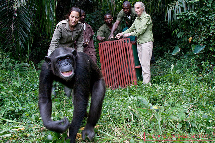 Jane and the JGI have assisted with many releases of chimps back into the wild, including Wounda who, after being captured by poachers, was rehabilitated at Tchimpounga Chimpanzee Rehabilitation Center