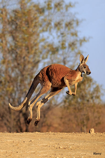 The Longest jump by a kangaroo is 12.8 m (42 ft), witnessed during a chase in New South Wales in 1951