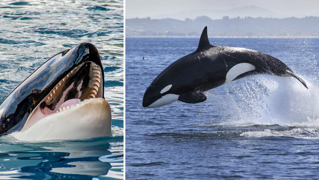 The Animal From Which Great Whites Flee 5 Killer Records Held By Orcas Guinness World Records