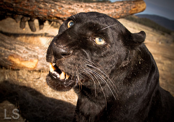Ivory, the oldest leopard in captivity, from Frazier Park in California, USA, is a record-setting example of a panther