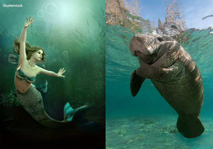 It might be hard to see the resemblance now, but sailors really did once think that manatees were mermaids or sirens