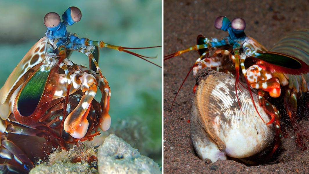 The mantis shrimp packs the most powerful punch in the