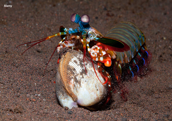 An unfortunate clam is about to feel the record-breaking power of the mantis shrimp's claws first-hand