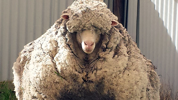 """Chris"" the shaggiest sheep ever is rescued by RSPCA and given a world record haircut"