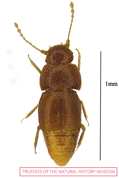 One of the new beetle species named after Greta is Nelloptodes gretae