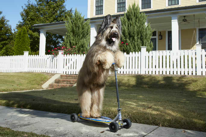 Norman the Scooter Dog: The record-breaking Briard that's battling