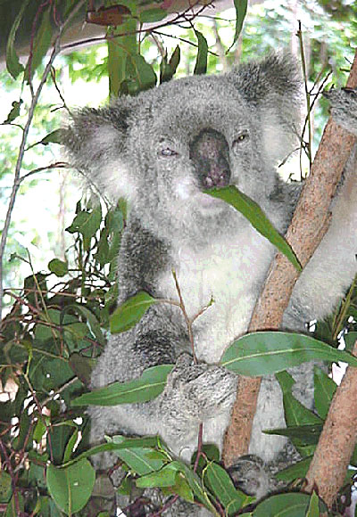 Fittingly, Lone Pine was home to the Oldest koala ever. Born at the park in 1978, Sarah was 23 when she died. The average age for a captive koala is 16