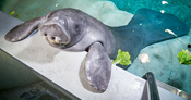 Snooty became the oldest manatee in captivity, living to the age of 69