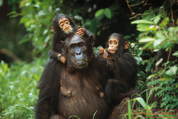 The oldest twin chimpanzees, Golden and Glitter, as youngsters with their mother, Gremlin