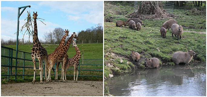 Other record holding species at Port Lympne include giraffes, the tallest animals, and capybaras, the world's largest rodents