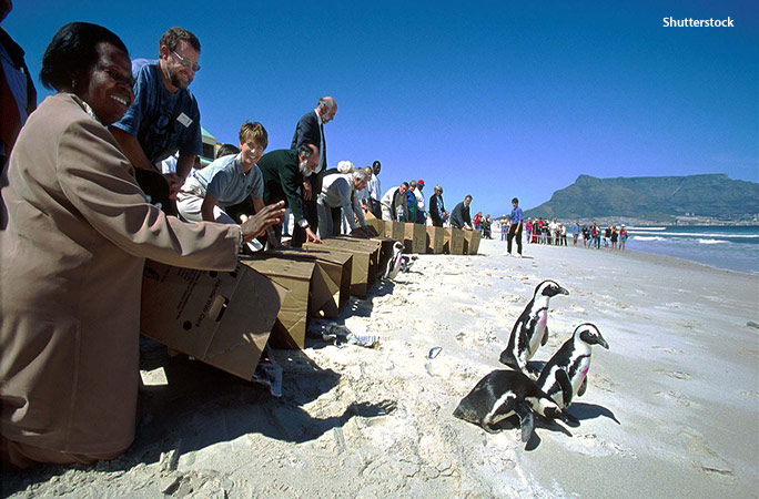 Cleaned-up penguins were re-released in groups of several hundred at a range of local beaches around Cape Town