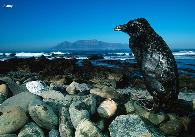 An oil-covered South African penguin on Robben Island after the Treasure oil spill in 2000
