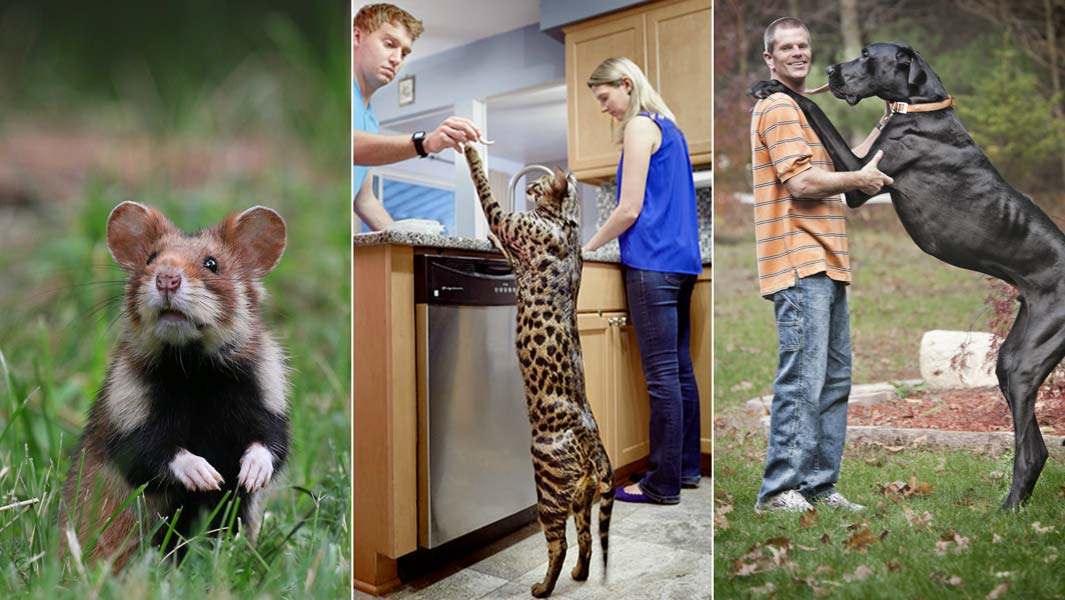 Prodigious Pets Five Of The World S Biggest Domestic Animals Guinness World Records