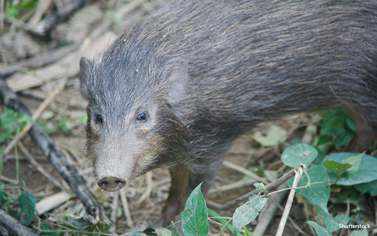The pygmy hog is critically endangered, with the last viable population living in Manas National Park in Assam, India