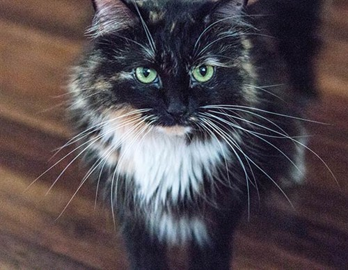 Sophie -smith -longest -fur -cat -guinness -world -records -whiskers