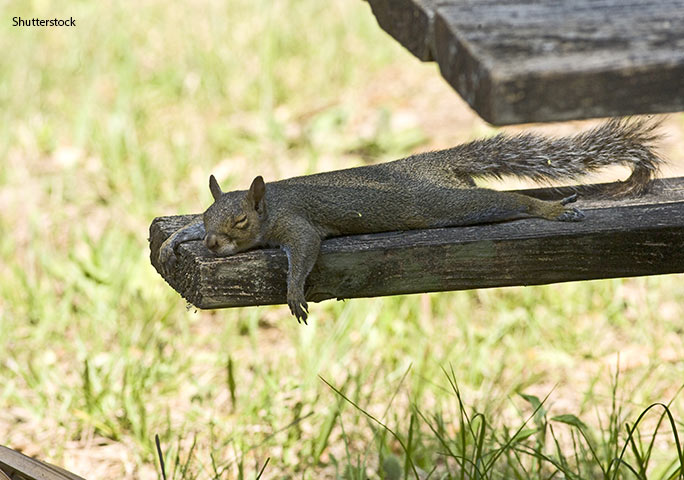 Squirrels can nap for 15 hr per day