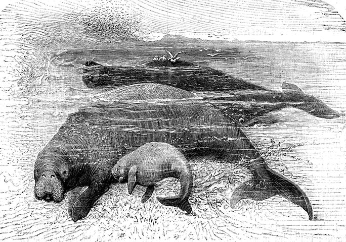 The Steller's sea-cow is thought to have been extinct since c. 1768