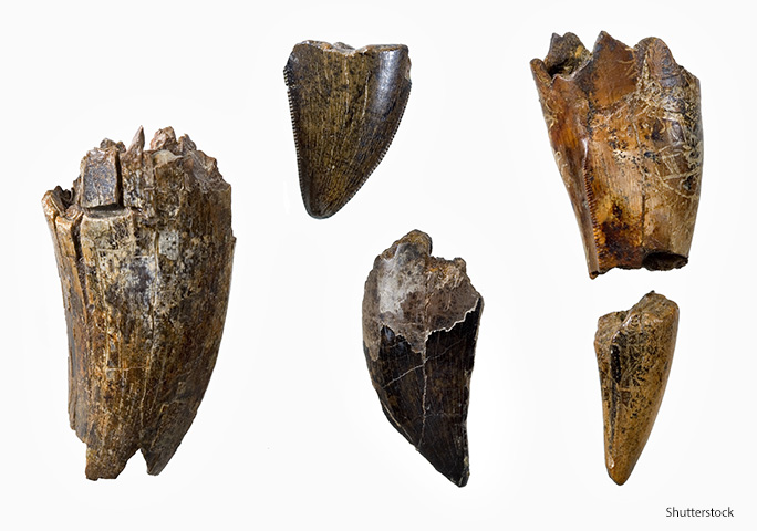 A close-up of T. rex teeth reveals their serrated edges