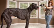Zeus is the tallest dog ever at 1.118 m (44 in) tall